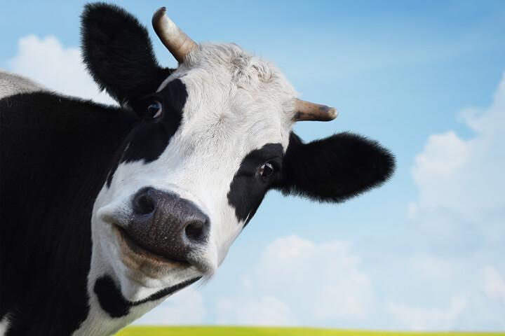 Jetzt werden auch Kühe komplett digitalisiert