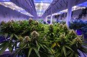 Jetzt bauen alle nur noch Cannabis an