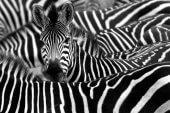 Weiße Weste und schwarze Zahlen: Zebras kommen in der Startup-Szene an