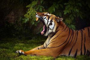"""Book A Tiger stillt seinen """"ersten Raubtierhunger"""""""