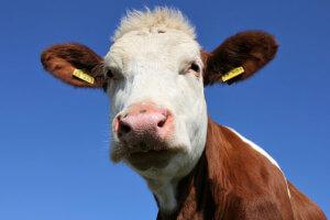 Bei diesen Startups steht die Kuh im Mittelpunkt